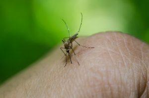 Moustique posé sur la peau