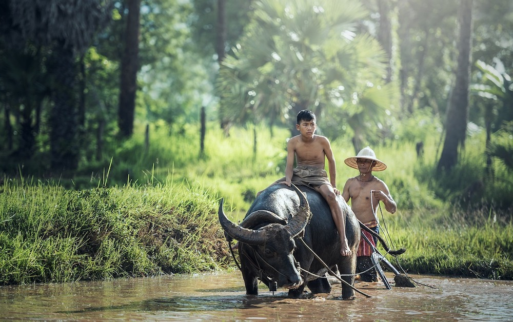 Promenades en buffle en Asie